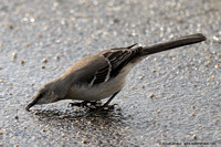 Northern Mockingbird having a sip of water