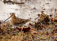 Pair of Wilson's Snipe